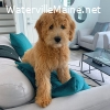 Golden Doodle Puppy for rehoming
